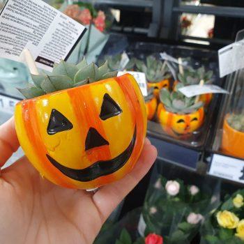 Tesco pumpkin succulent